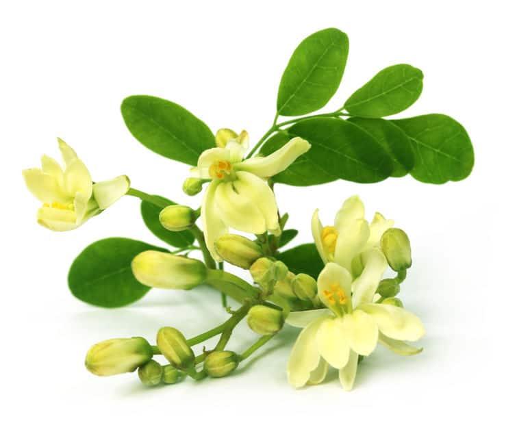 Flor de moringa