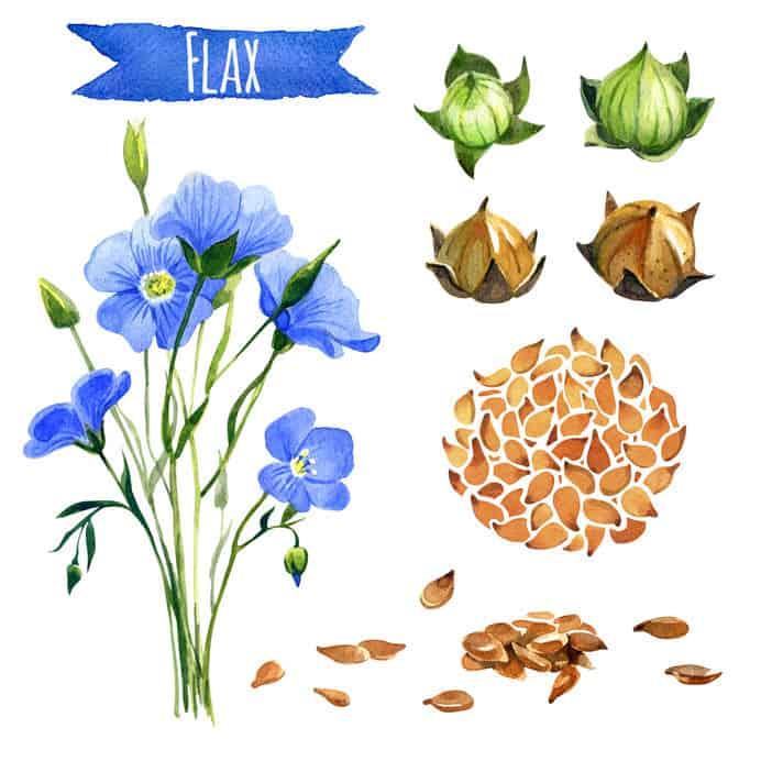 Vector flor de lino