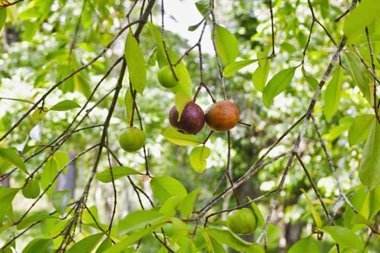 Árbol de garcinia cambogia