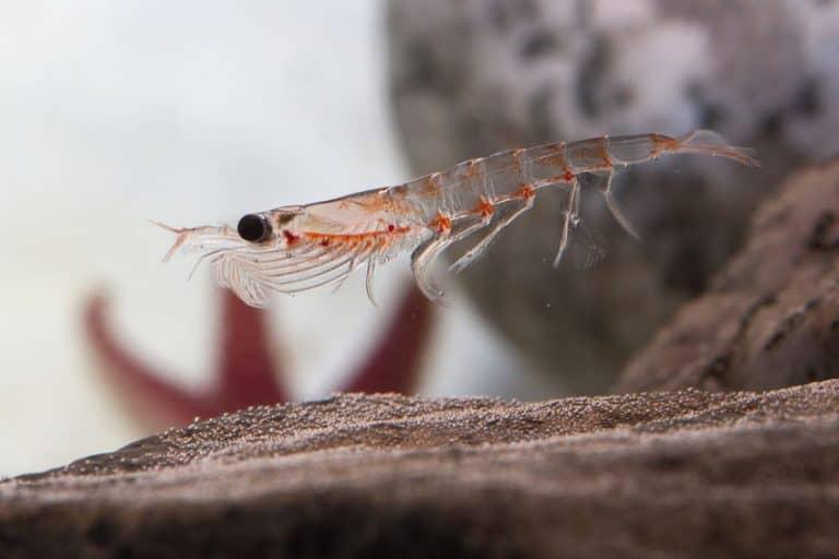 Krill en su habitad natural