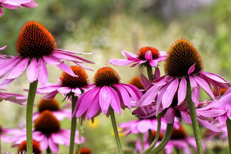 Flores equinácea purpurea